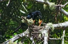 drongo-and-chicks