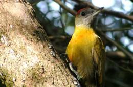 olive-woodpecker